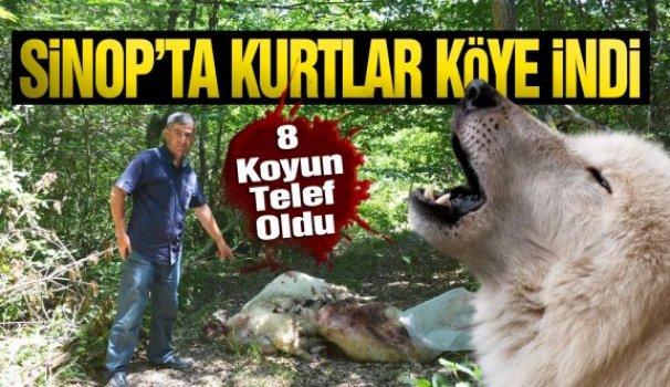Sinop'ta aç kurtlar köye indi - Vitrin Haber