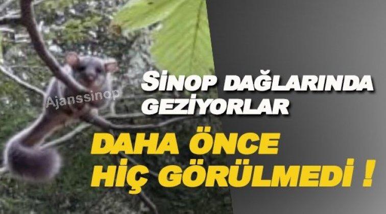 Sinop dağlarında esrarengiz canlı