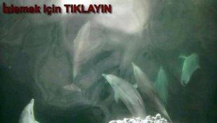 Yunusların Dansı Amatör Kamerada Sinop TV
