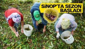 Kestane bu yıl Sinoplu üreticiyi sevindirdi